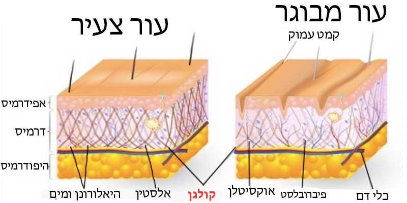 קולגן-לעור